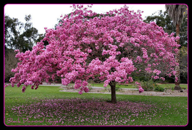 Flowering trees pink trumpet world of arts flowering trees mightylinksfo